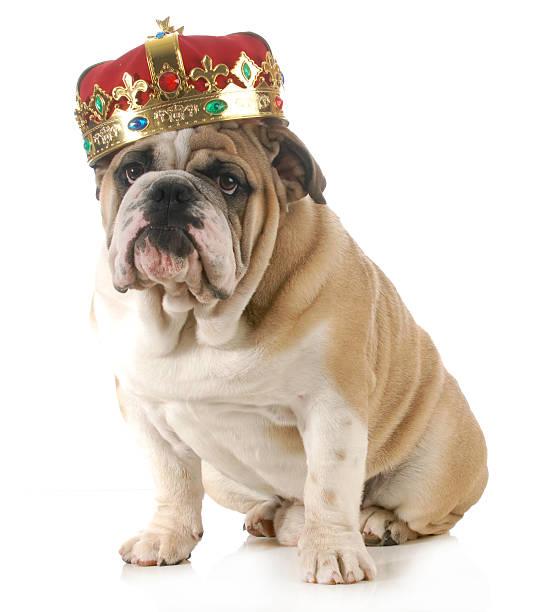 hund mit krone - prinzenkrone stock-fotos und bilder