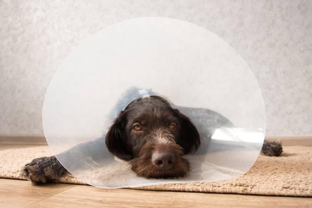 dog wearing elizabethan collar stock photo