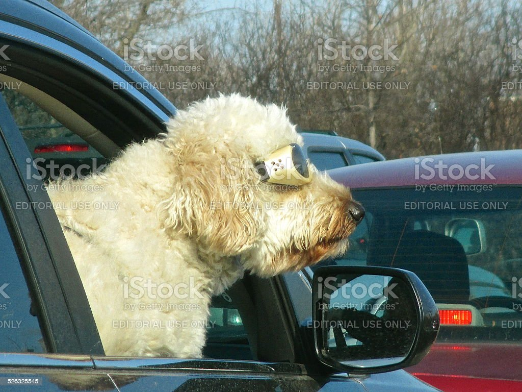 Dog wearing goggles with head out car window stock photo