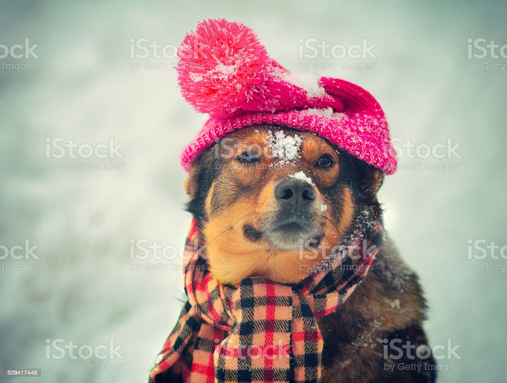 Dog wearing hat and scarf stock photo