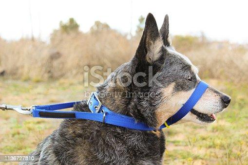 istock Dog Wearing Head Halter 1136727810