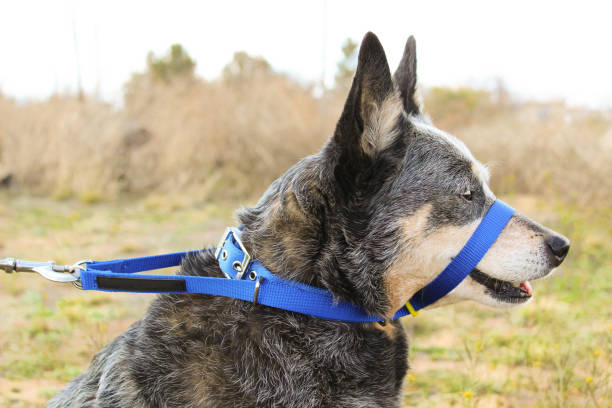Dog Wearing Head Halter stock photo