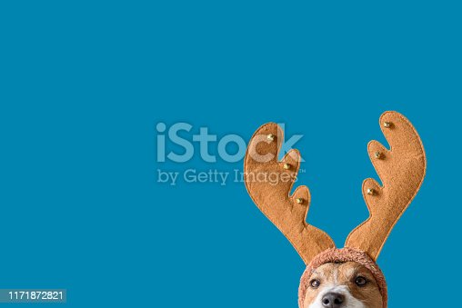 Head of Jack Russell Terrier with elk antlers