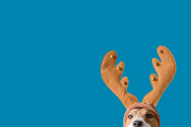 Dog wearing headband with Christmas reindeer antlers against solid color background Head of Jack Russell Terrier with elk antlers antler stock pictures, royalty-free photos & images