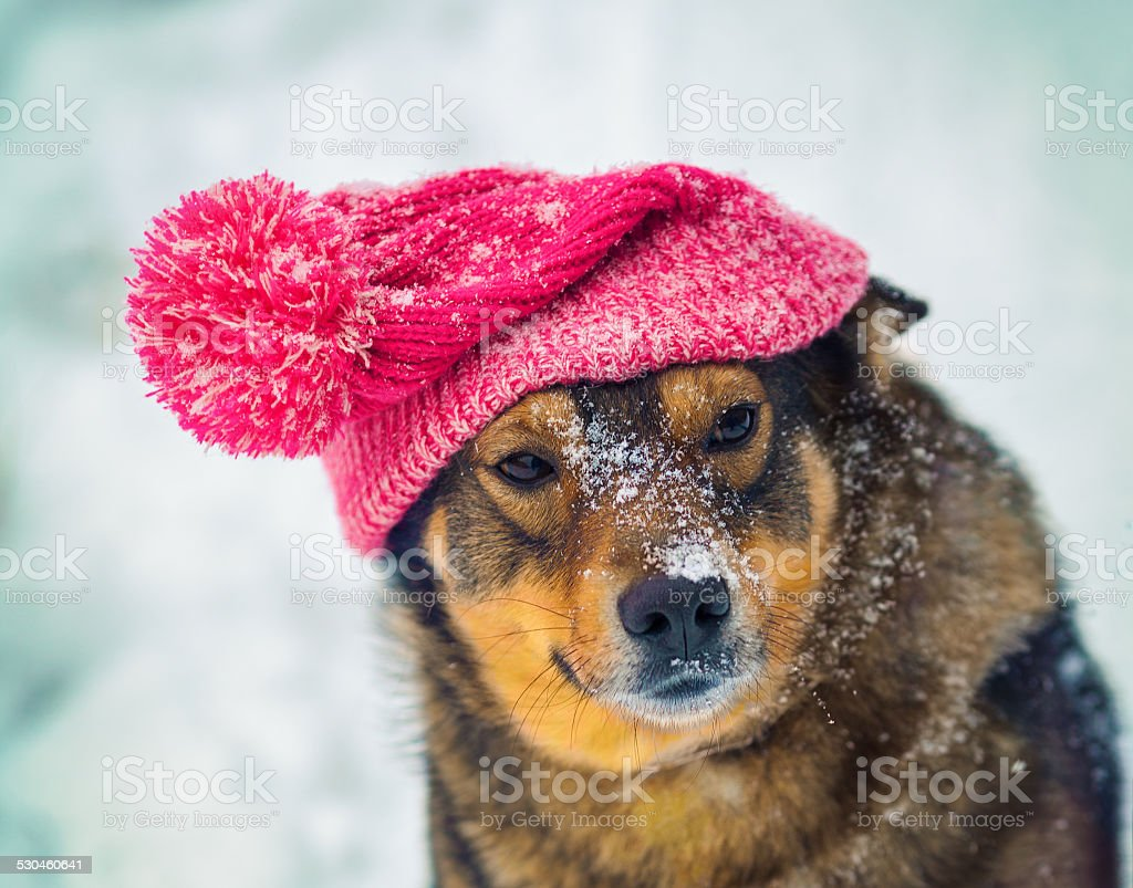 Dog wearing knitted hat with pompom stock photo