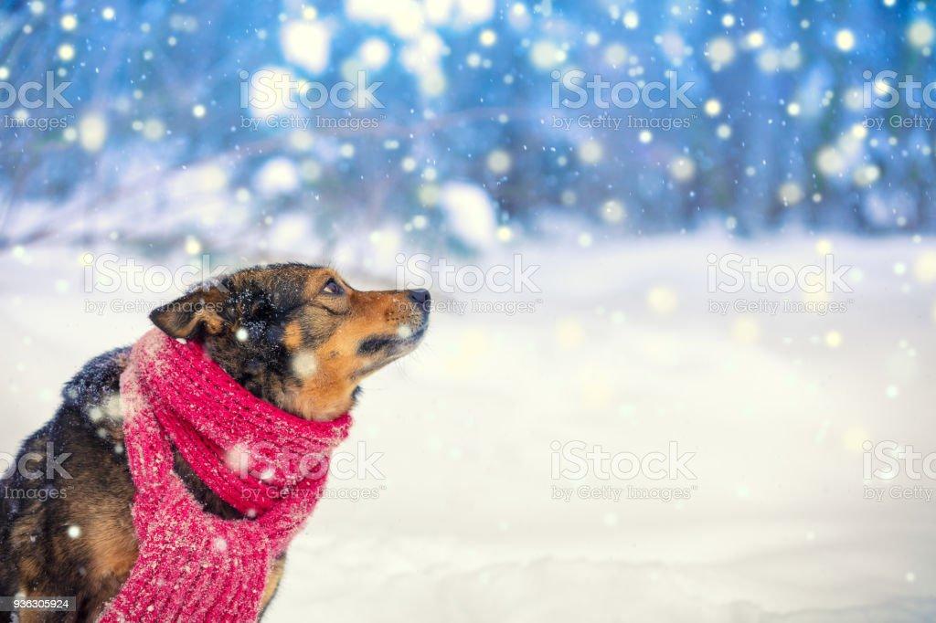 Hund trägt Schal in Schneefall im Winter. Hund sitzt im Wald und nachschlagen – Foto