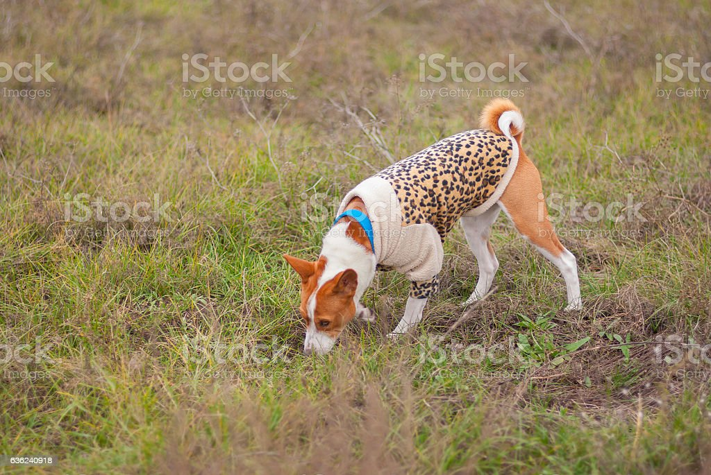 Dog wearing leopard style coat sniffing around stock photo