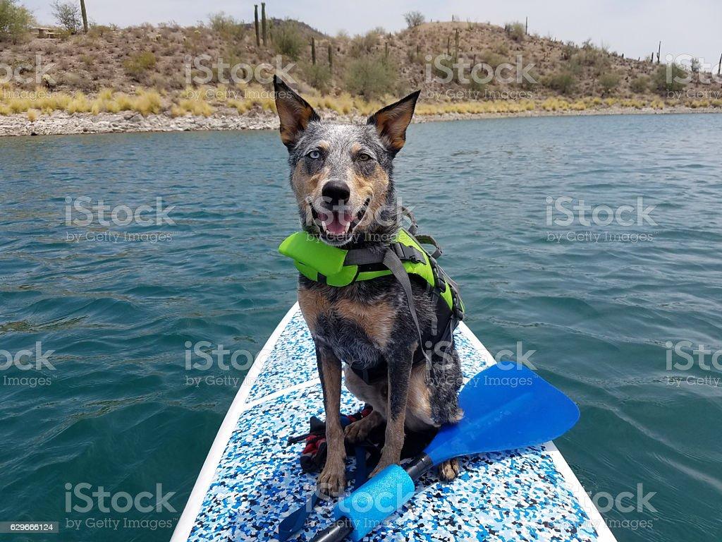 Dog wearing life jacket on paddleboard stock photo