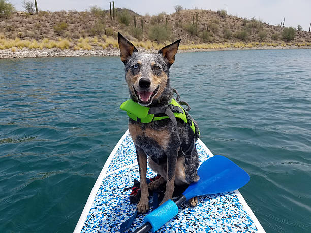 Dog wearing life jacket on paddleboard stock photo
