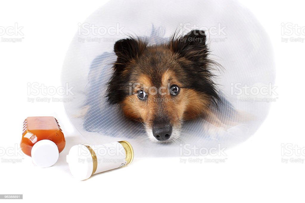 Dog wearing medical cone with medicine bottles in front - Royalty-free Animal Stock Photo
