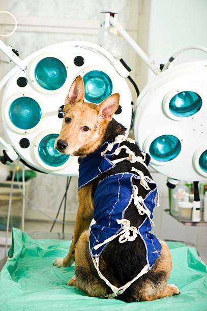 Dog Wearing Medical Pet Shirt After Sterilization stock photo