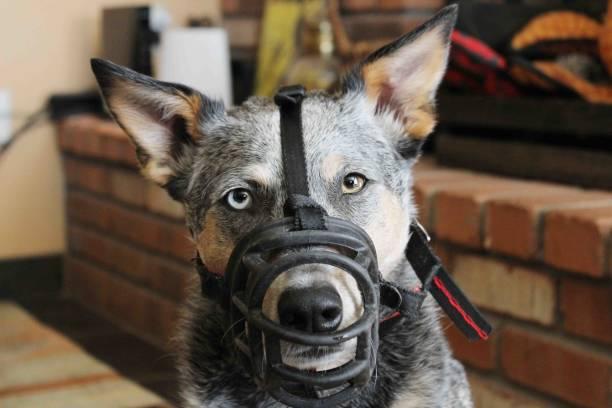 Dog Wearing Muzzle stock photo