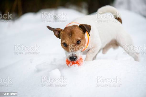 Dog wearing orange collar with led lamps for safety at evening walk picture id1063418960?b=1&k=6&m=1063418960&s=612x612&h=j9z 9t8kc rszrl2q 9mafacjjc0ctk6tw iiuv8jju=