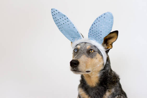 Dog Wearing Rabbit Ears stock photo