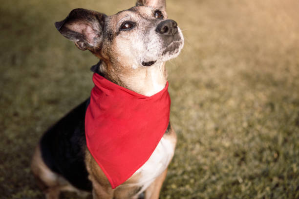 Dog wearing red bandana stock photo