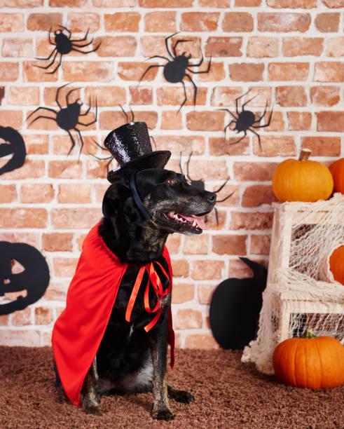 hund trägt roten umhang und schwarzen hut - hund spinnenkostüm stock-fotos und bilder