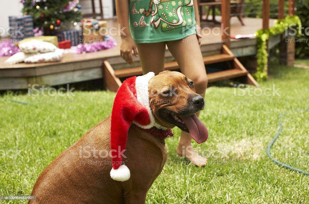 Dog wearing Santa hat in yard, girl (9-10) walking behind royalty free stockfoto