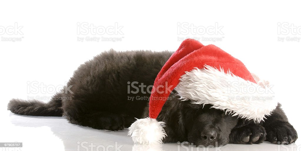 dog wearing santa hat royalty-free stock photo