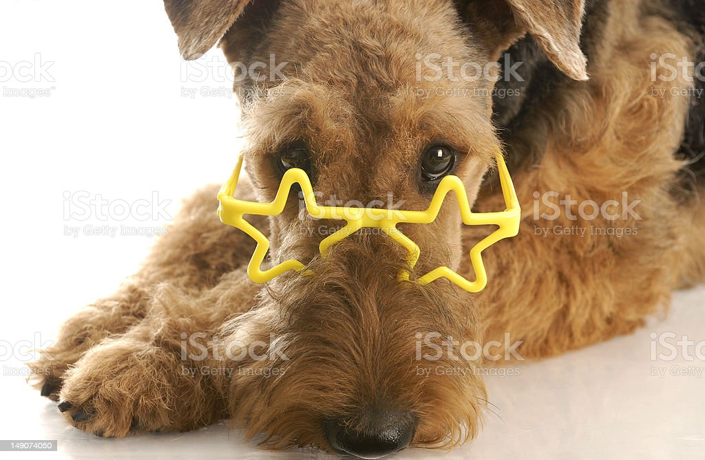 dog wearing silly glasses stock photo