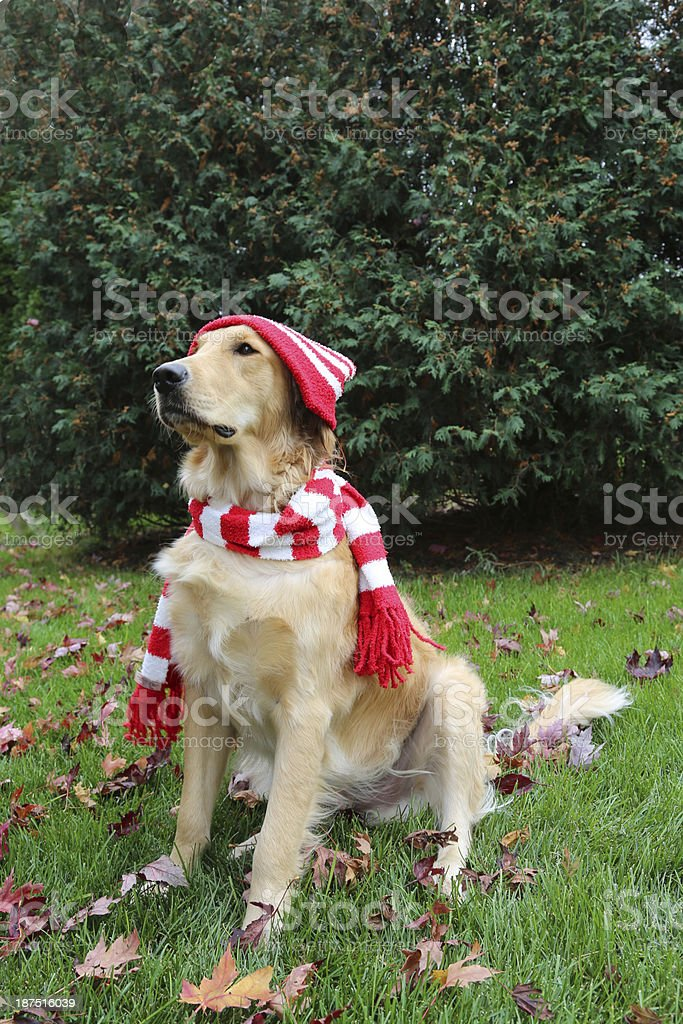 Dog wearing striped hat and scarf royalty-free stock photo