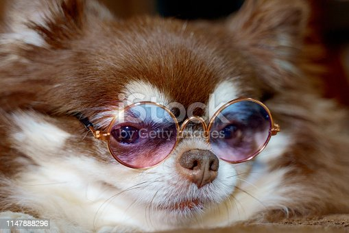 Chihuahua wearing sunglasses and looking at her face