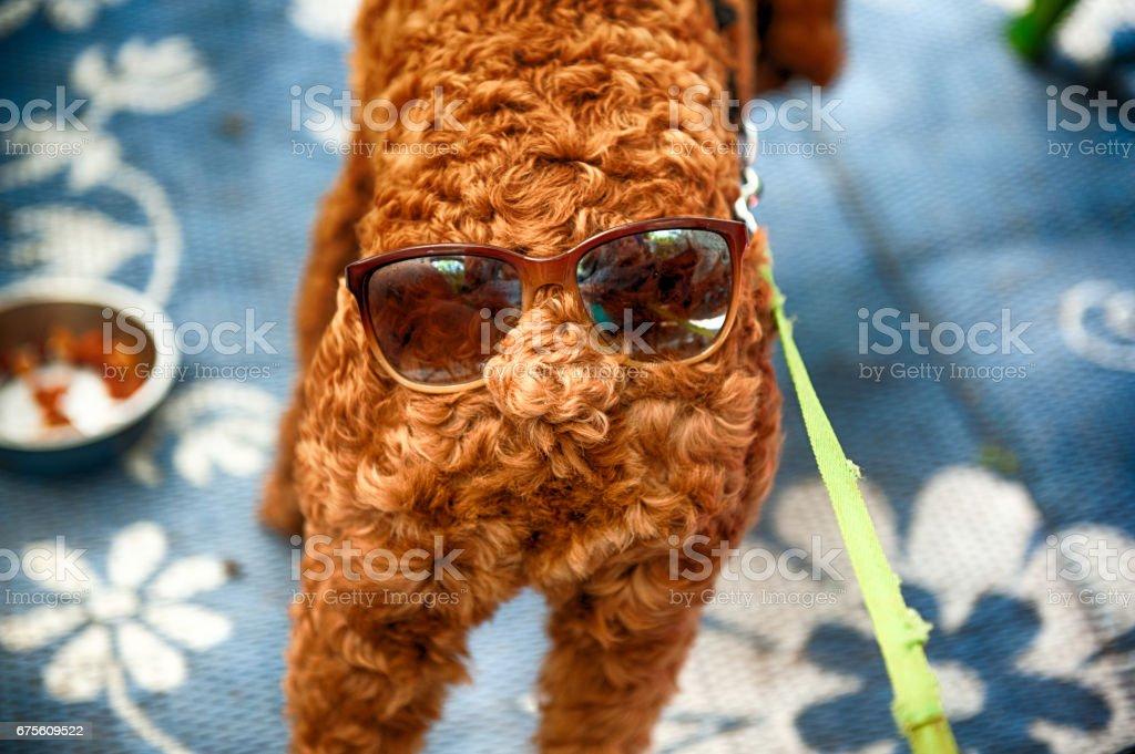 Dog wearing Sunglasses foto de stock royalty-free