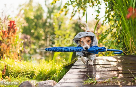 istock Dog wearing waterproof coat fetching umbrella under sunshower  rain 1048217794