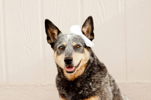 Dog Wearing White Hair Bow stock photo