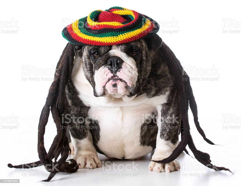dog wearing wig stock photo
