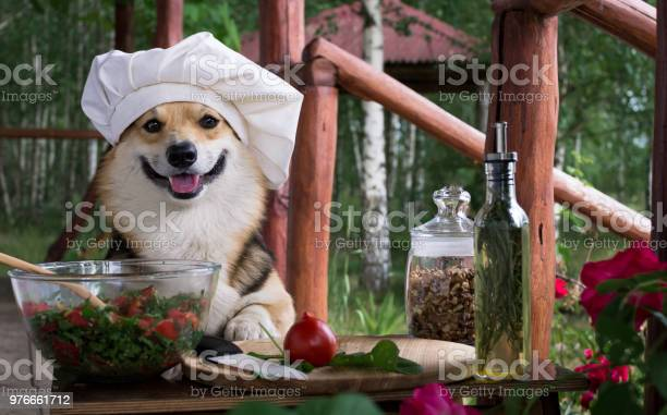 Dog welsh corgi pembroke is an admirer of italian food prepared a of picture id976661712?b=1&k=6&m=976661712&s=612x612&h=m 82aayubzmf0erz8r55ziy5j6fytyiz29yieuohr5q=