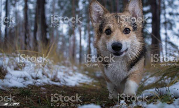 Dog welsh corgi pembroke on a walk in a beautiful winter forest picture id948122522?b=1&k=6&m=948122522&s=612x612&h=swv nlxiguucjswpkwla48bd mj0ly6hgdczgqh0 ak=