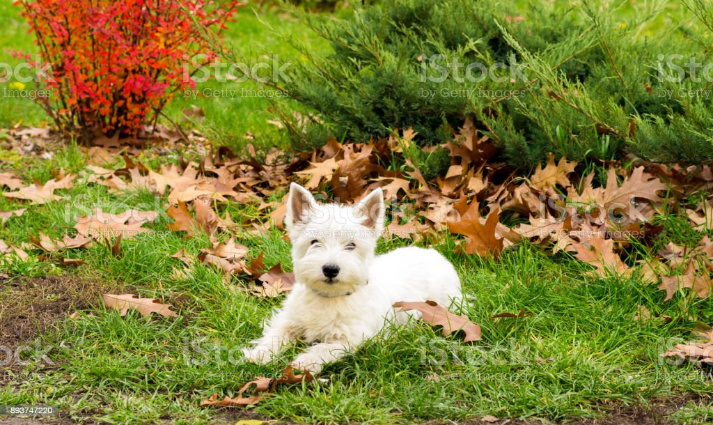 Dog west highland white terrier. White dog in the park. stock photo