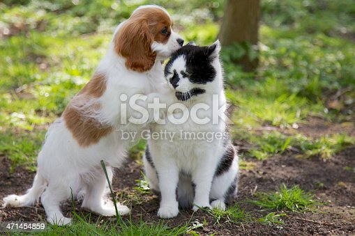 A beautiful Cavalier King Charles puppy and a black and white cat. The puppy looks like it is whispering in the cats ear. The cat looks unimpressed.