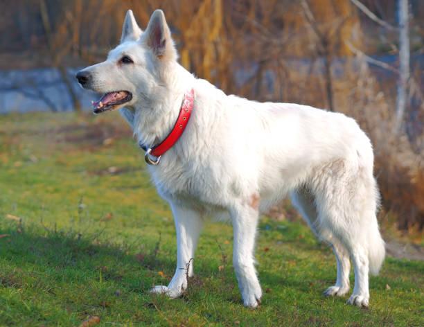 Dog white swiss shepherd playing at the nature picture id1154836809?b=1&k=6&m=1154836809&s=612x612&w=0&h=fqvokoamsvwt1upczq2poa dgsrau1fa1xrocjlvtlq=