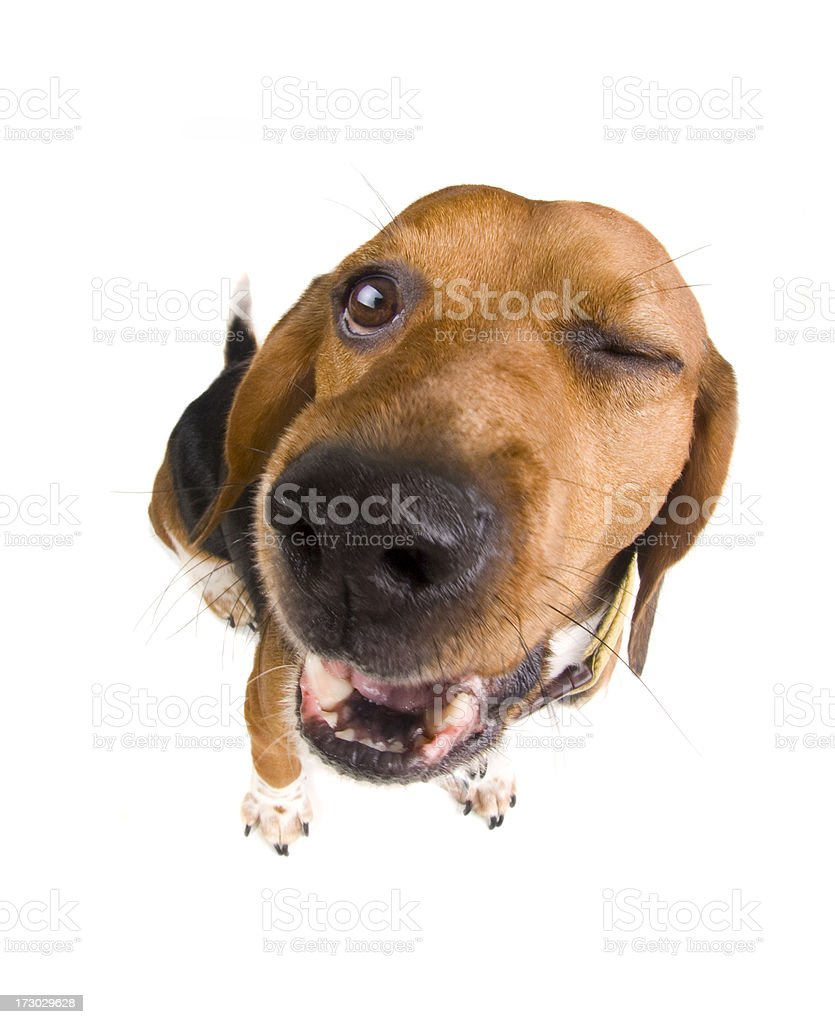 Dog wink stock photo