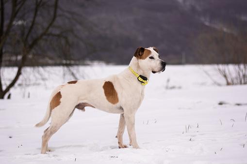 Beautiful american pitbull terrier with ecollar, electric, electronic training hunter