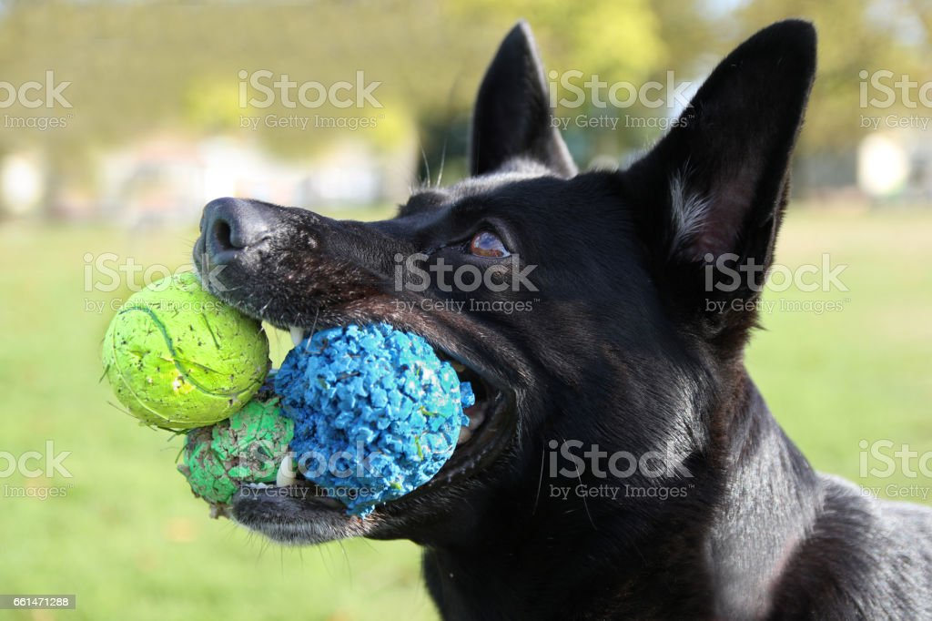 Dog with 3 balls in hits mouth stock photo