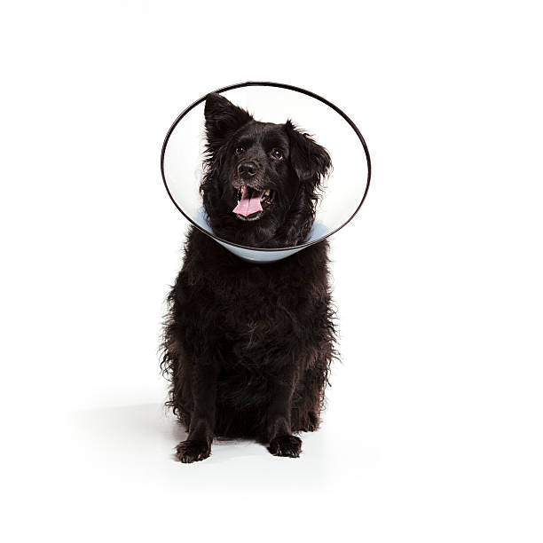 dog with a cone on head stock photo
