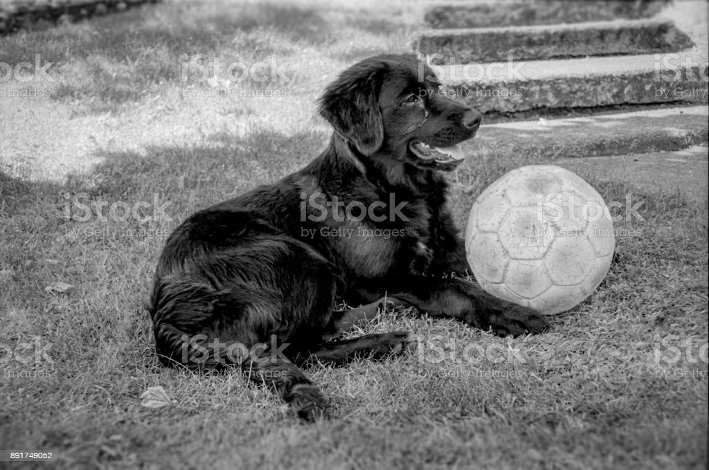 Dog with a football stock photo