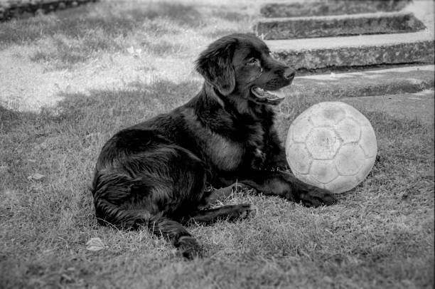 hund mit einem fußball - fußball poster stock-fotos und bilder