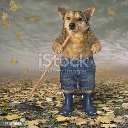 The dog gardener in shorts and blue rubber boots rakes dead leaves in the autumn park.