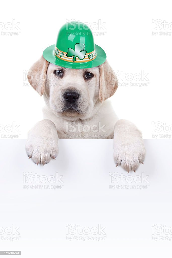 A dog with a green St Patrick's Day hat stock photo