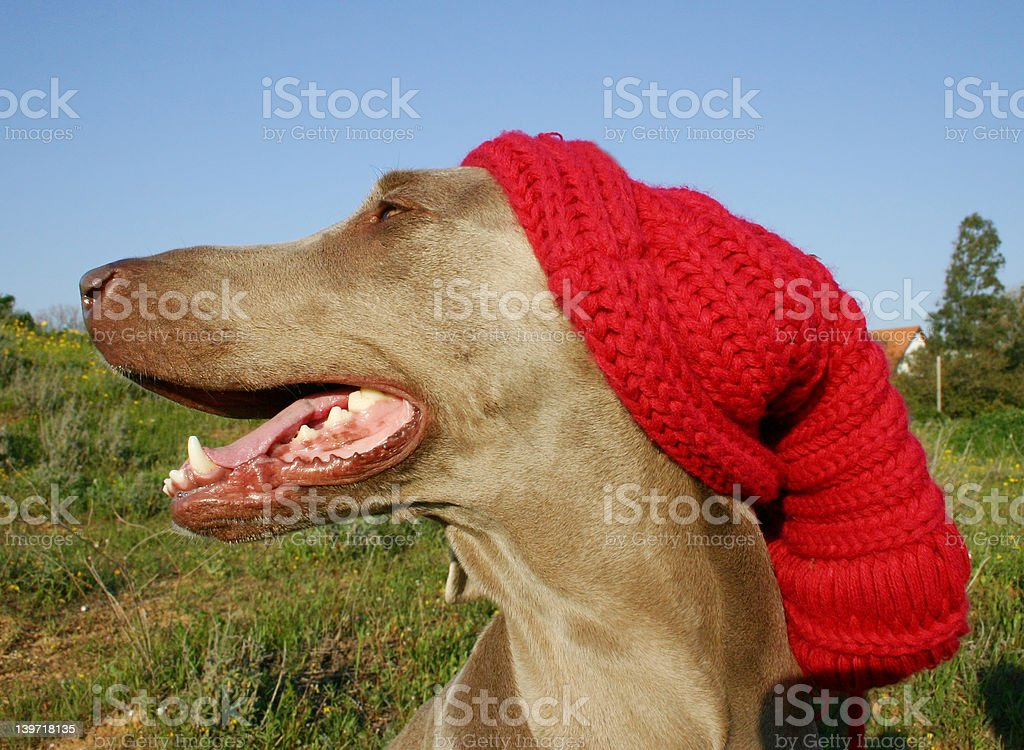 dog with a hat royalty-free stock photo