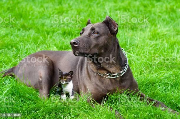 Dog with a kitten lying on the grass picture id1010221034?b=1&k=6&m=1010221034&s=612x612&h=t1d8sfosdm0iszvrux283iuedqvftaxagjovgx mrak=