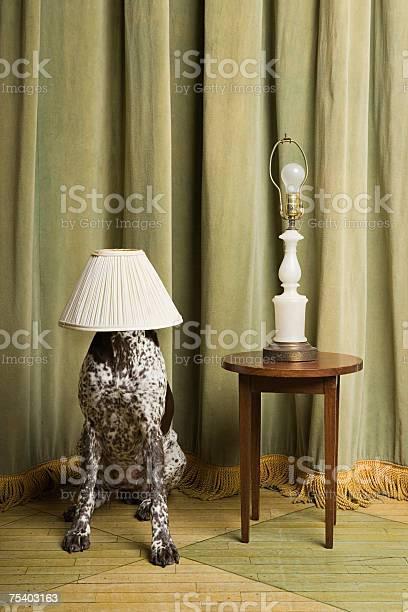 Dog with a lampshade on its head picture id75403163?b=1&k=6&m=75403163&s=612x612&h=fofu3ay4seevfid nstlppnzkxmqyx 17ru5yamq pq=