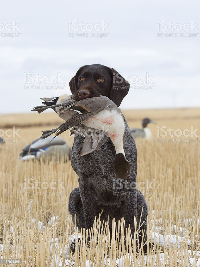 Dog with a Pintail royalty-free stock photo