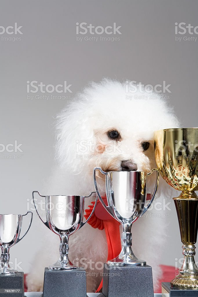 Dog with a row of trophies 免版稅 stock photo