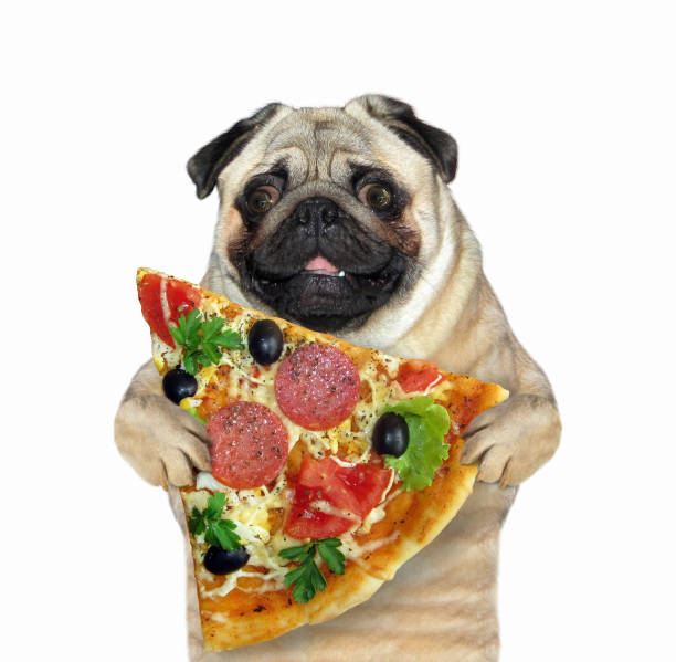 Dog with a slice of pizza stock photo