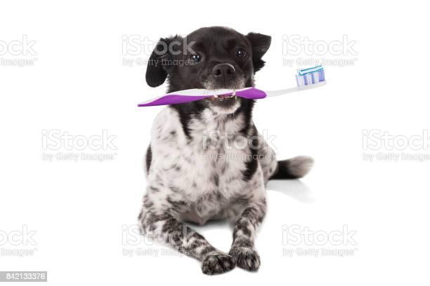 Dog with a toothbrush picture id842133376?b=1&k=6&m=842133376&s=612x612&h=lrid7rb1vtcsob4rzzu fmufc6a ykqb5uapev4jvos=