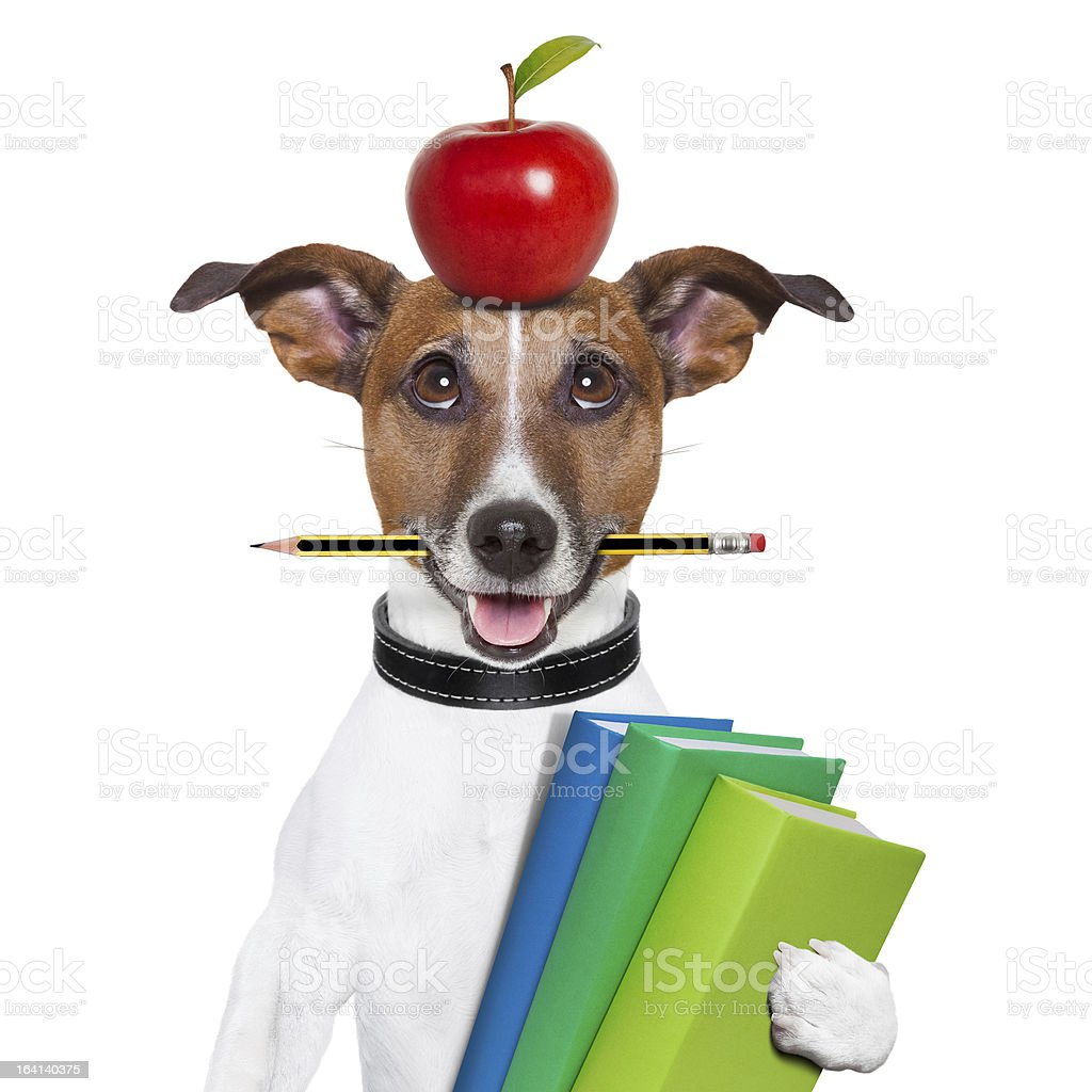 Dog with apple on head and pencil in mouth carrying books stock photo